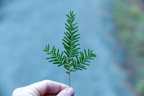 maine priest encourages pine sunday where there are no palms Portland, Maine, Mar 31, 2020 / 05:00 pm (CNA).- With public Masses cancelled across the United States, ahead of Palm Sunday this weekend, some Maine Catholics are being encouraged to adopt a substitute devotional practice: pine branches.